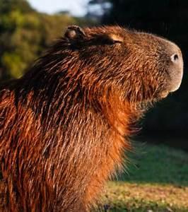 Animal En G : en images le plus grand rongeur du monde transform en ~ Melissatoandfro.com Idées de Décoration