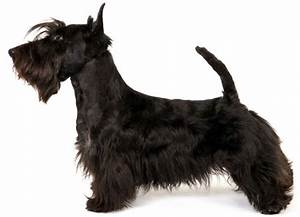 Scottish Terrier Information, Facts, Pictures, Training ...