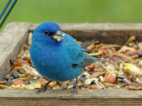 male indigo bunting feederwatch