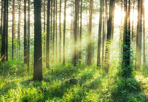 forest sunbeams wall mural buy  europosters