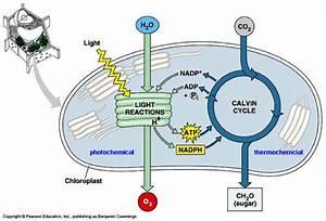 8 2 1  U2013 8 2 3 Photosynthesis  U2013 Ib Hl Biology 2014