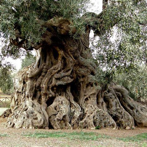 olea europaea olivier pom pom h 233 rault la jardinerie de la