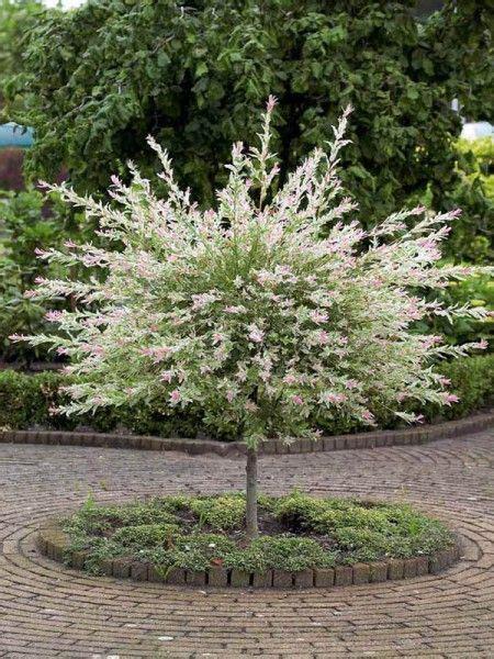 salix hakuro nishiki salix integra flamingo dappled willow trees beautiful the shape and will
