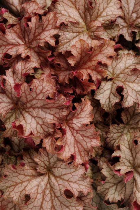 types  heucheras hgtv
