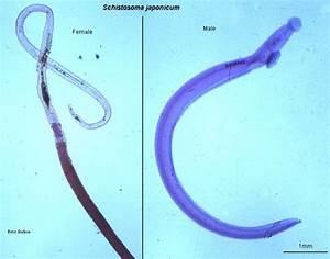 Schistosoma japonicum Causes, symptoms, treatment