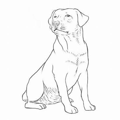 Retriever Labrador Dog Drawing Breeds Golden Yellow