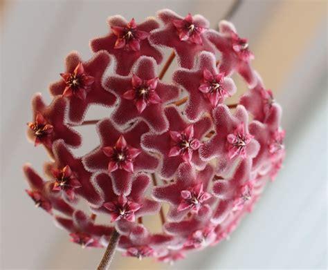 interieur d une fleur fleur de porcelaine hoya plante entretien arrosage rempotage