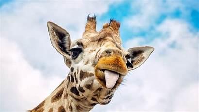 Giraffe Famous Pregnant Birth Given Internet Still