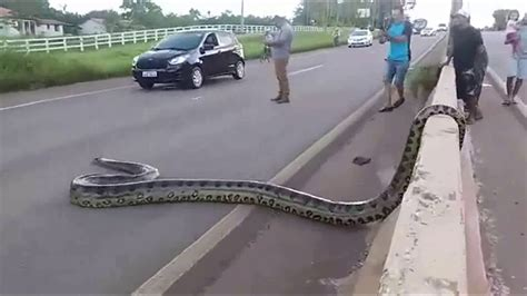 giant anaconda blocks traffic  brazil