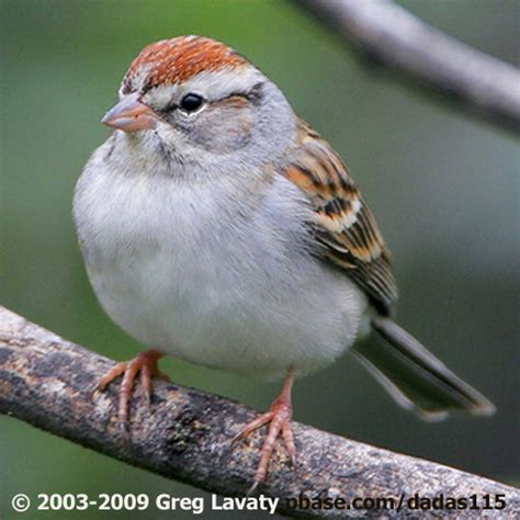 show me a picture of a sparrow chipping sparrows birdnote