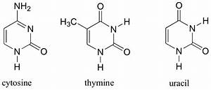 biochemistry - Why is thymine not incorporated into mRNA ...