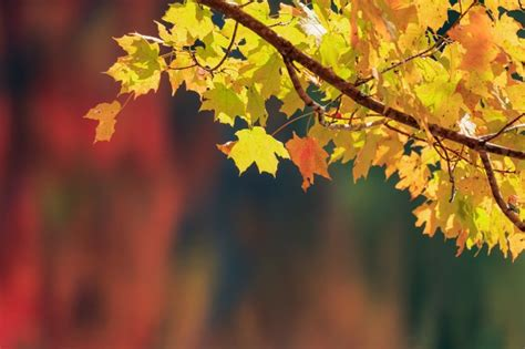wallpaper autumn leaves yellow fall maple tree blurry