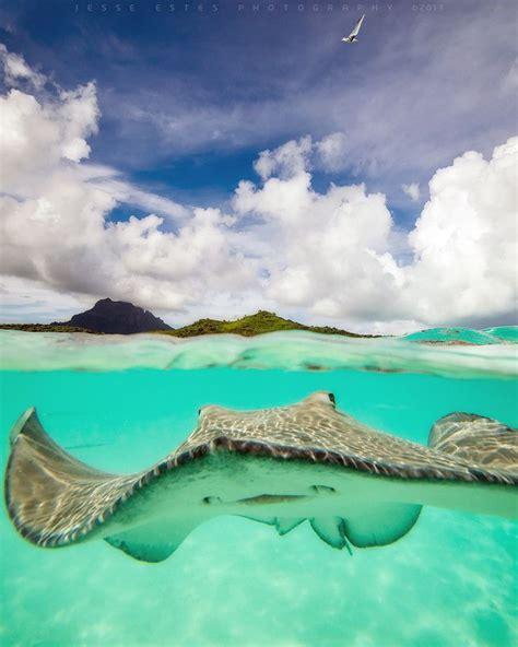 Stingray Bora Bora French Polynesia Extreme Planet