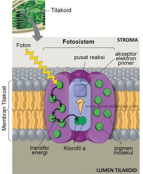 proses fotosintesis   mudah menghafalkannya