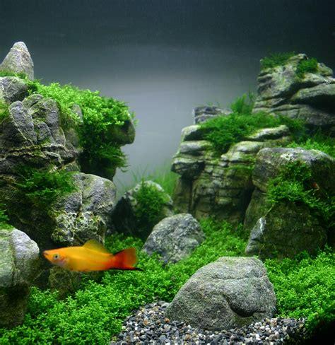comment faire un aquarium plante les plantes epiphytes aquascape boutique en ligne d aquariophilie
