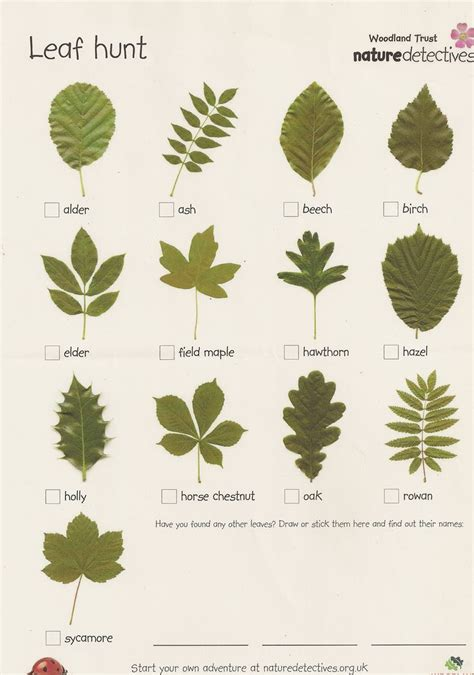 1000 images about learning about leaves on 929 | 226760f2803c28deefcea928b73ac270