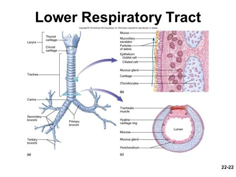 Gross Anatomy Of The Lower Respiratory System