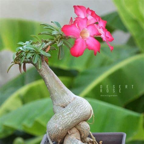 ชวนชมแคระ 🌸 #DesertRose #กุหลาบทะเลทราย #adenium | สวนขวด ...