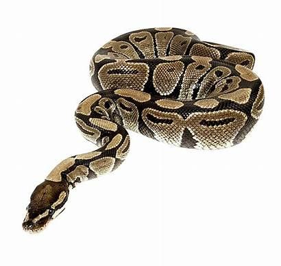 Snake Transparent Clipart Python Clip Ular Anaconda
