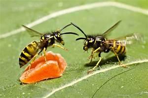 Pflanzen Gegen Wespen : duftgeranie pflanzen pflegen vermehren und mehr ~ Orissabook.com Haus und Dekorationen