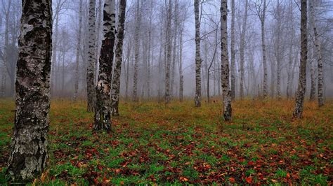 birch forest birch forest in the fog wallpaper nature wallpapers 54285