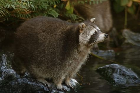 how to repel raccoons the housing forum