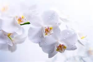 pink orchids fonds d 39 écran fleurs blanches maximumwallhd