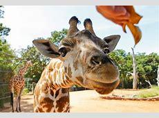 Giraffe Eye to Eye Perth Zoo