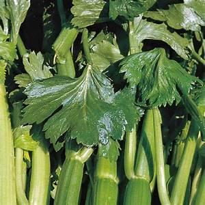 Culture Celeri Branche : c l ri branche vert tango la barquette de 3 plants plantes pour le potager nos produits botanic ~ Melissatoandfro.com Idées de Décoration