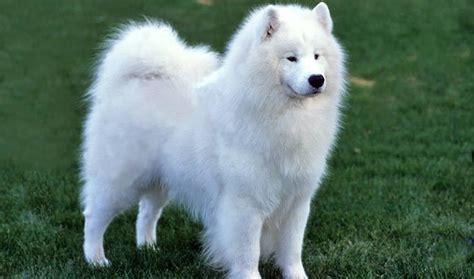 do samoyeds shed more than huskies samoyed breed information