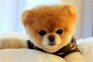 The Cutest Dog In The World Boo Breed - Dog : Pet Photos ...