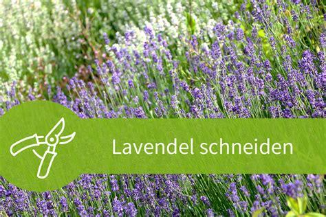 Lavendel Schneiden Wann Und Wie by Lavendel Schneiden Mit 3 Schnitten Durch Das Jahr