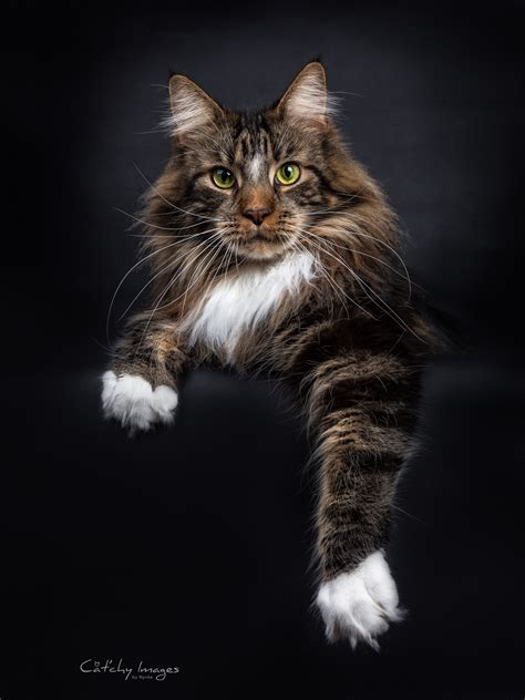 maine coon catchy images
