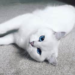 cats with blue coby the blue eyed cat wins almost 300 000 fans on