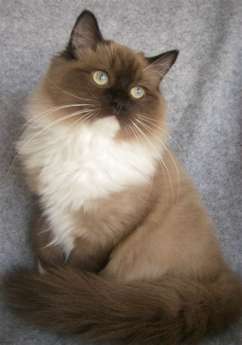 1000+ Ideas About Ragdoll Cats On Pinterest Ragdoll