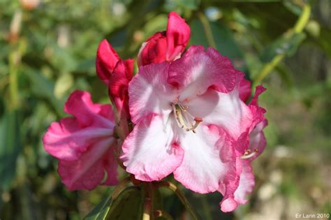 culture du rhododendron en pot rhododendron