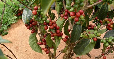 Kafijas koks - gan tropos, gan tavā istabā - Attiecības ...