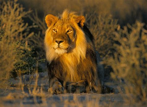 The Endangered Asiatic Lion Population