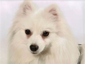 Miniature American Eskimo Dog Facts Pictures, Price and ...