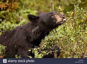Black Bear (ursus americanus) eating berries from bush ...