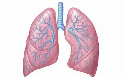 Lungs Lung Respiratory Background Clipart System Transparent