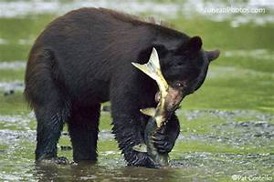 Black Bear | Animal Wildlife
