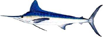 kajikia albida discover fishes