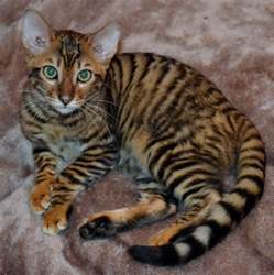 cats and kittens toyger kitten available brandon suffolk pets4homes