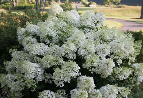hydrangeas  bloom reliably   indiana landscapes