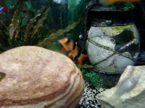 mangeur d escargot aquarium pourriture des nageoires sur n 233 ons aquariums et vivariums forum animaux