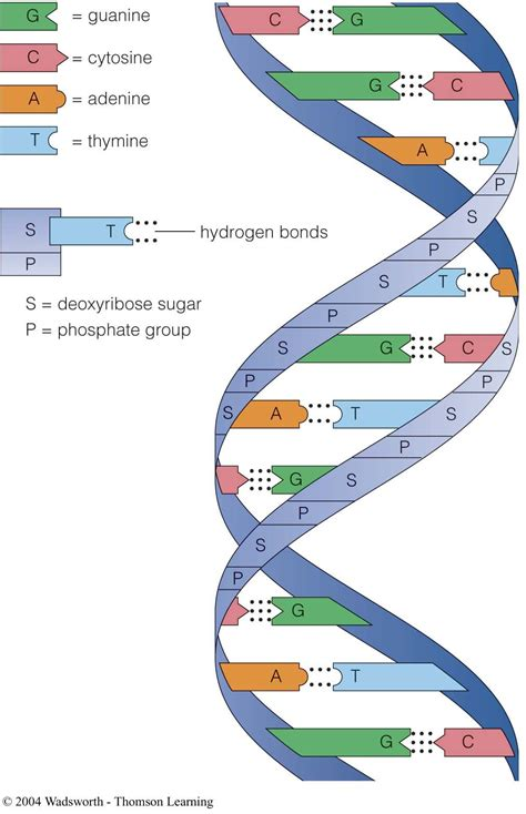 complementary base pairs purine pyrimidinepairs sugar