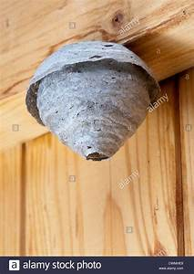 Small Wasp Nest At Early Stage Of Stage Development In Garden Shed Stock Photo  Royalty Free