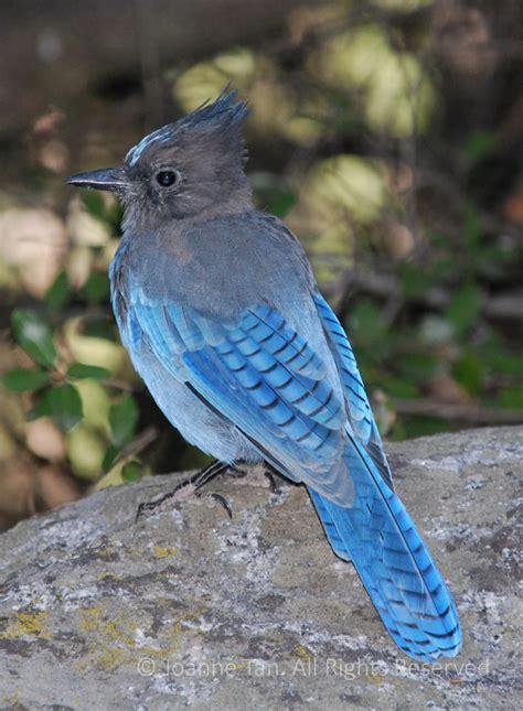 animals  steller blue jay bird  yosemite ca poem