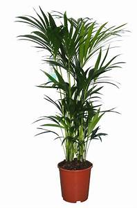 Kentia Palme Giftig : kentia palm strong graceful and popular florastore ~ Frokenaadalensverden.com Haus und Dekorationen